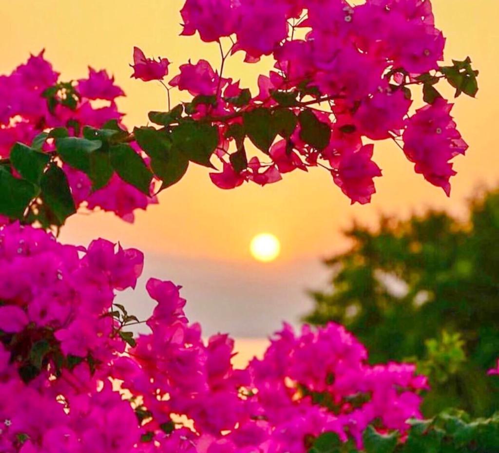 Ege'nin Fısıldadığı Çiçek Begonviller..