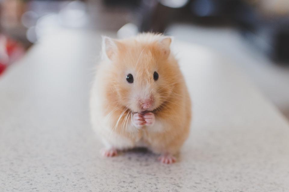 ''O Fare Değil Hamster''