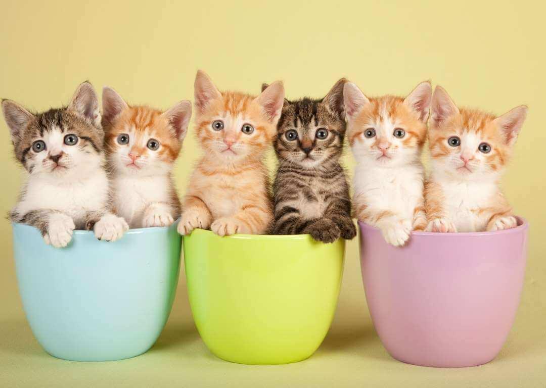 Kediler De Göz İltihabı
